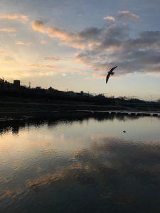 朝の鴨川、飛翔